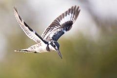 Vol plané pie de martin-pêcheur en vol pour pêcher des poissons Image stock