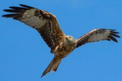 Vol rouge de cerf-volant Images stock