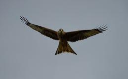 Vol rouge de cerf-volant dans le ciel Images libres de droits