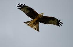 Vol rouge de cerf-volant dans le ciel Image stock