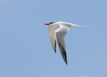 Vol royal de sterne avec un ciel bleu image libre de droits