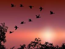 Vol sauvage d'oie dans le coucher du soleil Images libres de droits
