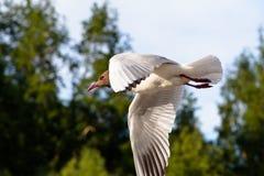 Vol simple de mouette dans un ciel comme fond Image libre de droits