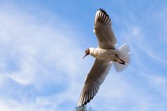 Vol simple de mouette dans un ciel comme fond Photo libre de droits
