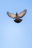 Vol simple de pigeon en air photographie stock libre de droits