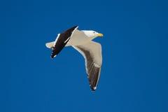 Vol solitaire de mouette de dos de noir en ciel bleu lumineux Photographie stock libre de droits