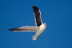 Vol solitaire de mouette de dos de noir en ciel bleu lumineux Image stock