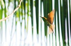 Vol vert d'oiseau de beaeater photo stock