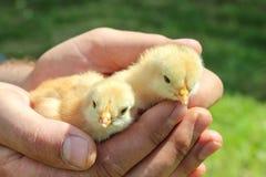 Volaille, jeunes poulets dans les mains de l'agriculteur images stock