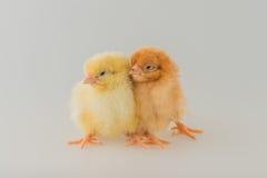 Volaille - paire de poulets d'un jour d'une couche photo stock