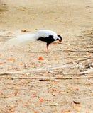 Volaille sauvage blanche Photographie stock libre de droits