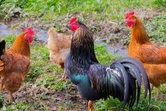 Volaille sur l'extérieur, coq et poulets, photo libre de droits