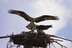 Volando nel nido fotografia stock libera da diritti