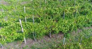 Volando sobre un viñedo, viñedos primer, producción de vino, primer metrajes