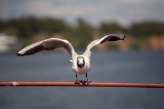 Volando sul gabbiano Fotografia Stock