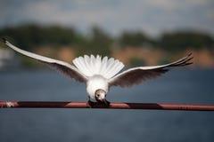 Volando sul gabbiano Immagine Stock
