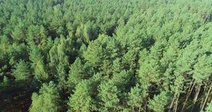 Volant au-dessus d'une forêt de pin, volant au-dessus des cimes d'arbre banque de vidéos