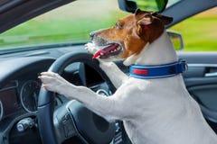 Volante del coche del perro Foto de archivo libre de regalías