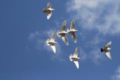 Volata bianca dei piccioni Immagini Stock Libere da Diritti