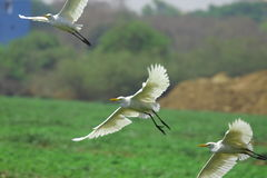 Volata dei Egrets Fotografie Stock