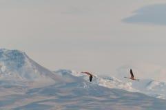 Volata dei fenicotteri. Fotografia Stock