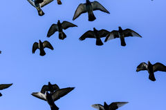 Volata dei piccioni Immagine Stock Libera da Diritti