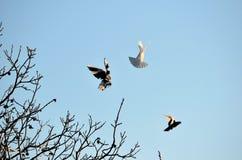 Volata delle colombe delle coppie Fotografie Stock