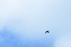 Volata nera dei sorsi di granaio Fotografia Stock