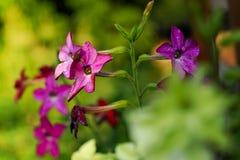 Volatile tobacco. Beautiful flowers. Volatile tobacco in garden Stock Photo