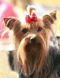 Volbloed- hond royalty-vrije stock afbeeldingen