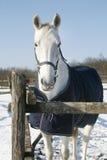 Volbloed- kastanjestllion probeert weidend bevroren de winterdag Royalty-vrije Stock Foto's