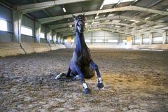 Volbloed- kereltjekielzog upp na zandbad in het lege berijden Royalty-vrije Stock Foto's