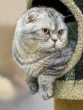 Volbloed- luie dikke grijs-blauwe Schotse Britse rassenwieg Royalty-vrije Stock Fotografie