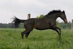 Volbloed- paard Stock Foto