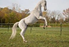 Volbloed- Paard Stock Foto's