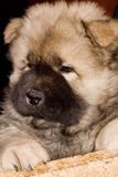 Volbloed- puppy van een voer Stock Fotografie