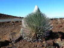 Volcán y silversword, Maui de Haleakala Fotos de archivo libres de regalías