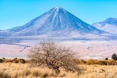 Volcan Licancabur et un arbre gentil Images libres de droits