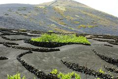 Volcanic black ground with vineyards in La Geria, Lanzarote, Canary Islands Royalty Free Stock Images