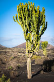 Volcanic landscape with cactuses, Lanzarote Island, Spain Stock Photography