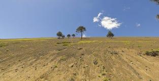 Volcanic landscape, Chilean Patagonia, Chile. Araucaria (Araucaria araucana) trees in Bio bio Park (Chile Stock Image