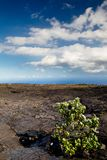 Volcanic Landscape. A green bush growing on a solidified lava flow in the Hawaii Volcanoes National Park on Big Island, Hawaii, USA Stock Photography