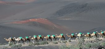 Free Volcanic Landscapes Of Lanzarote With Camels Stock Images - 139738784