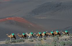 Free Volcanic Landscapes Of Lanzarote With Camels Stock Photography - 139739022