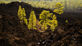 Volcanic Pine Forest Royalty Free Stock Photography