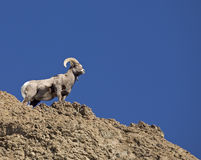 Volcanic rock and Bighorn Ram Royalty Free Stock Photos