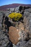 Volcanic vegetation, Piton de La Fournaise, Reunion Island. Volcanic vegetation, Piton de La Fournaise at Reunion Island Royalty Free Stock Photos