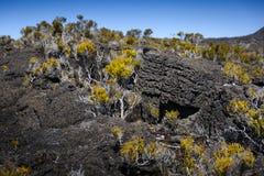 Volcanic vegetation, Piton de La Fournaise, Reunion Island. Volcanic vegetation, Piton de La Fournaise at Reunion Island Stock Photos