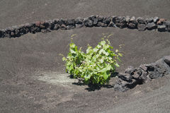Volcanic vine Stock Photography