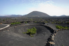 Volcanic vineyard. Great farm of white grapes in volcanic soil on Lanzarotte Stock Photography